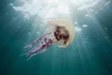Mauve Stinger Jellyfish (Pelagia Noctiluca)  Cap De Creus  Costa Brava  Spain