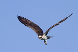 Osprey Takes Off