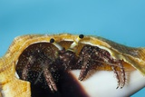 Hermit Crab in a Shell (Dardanus Megistos)