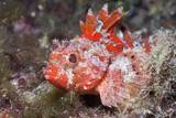 Lesser Red Scorpionfish (Scorpaena Notata)  Tamariu  Costa Brava  Mediterranean Sea  Spain