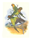 Brown Throated Conure no 401