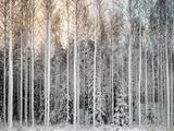 Snowy Tees in a Row