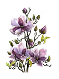 Drawing Branch of a Blossoming Magnolia  Paper  Water Color  H