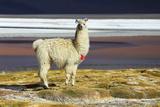 Alpaca in Salar De Uyuni  Bolivia Desert