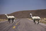 Alpaca in Perù Mentre Attraversano