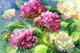 Drawing Blossoming Hydrangeas  Paper  Water Color