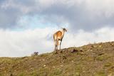 Llama Torres Del Paine - Chile