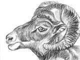 Hand Draw Sheep Head
