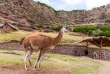Peruvian Llama Farm of Llama Alpaca Vicuna in Peru