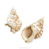 Watercolor Shells VII