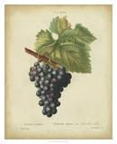 Antique Bessa Grapes I