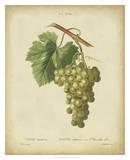 Antique Bessa Grapes II