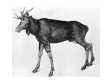 Young Scandinavian Elk with Immature Antlers  Late 15th-Early 16th Century