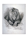 Nero  a Lion from Senegal  Now Exhibiting in the Tower of London  1814