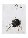 Female Spider  1578