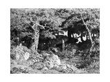 Les Chenes De Roche  C1832- 1860