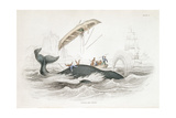 Harpooning a Greenland Whale Which Has Tossed One of the Attacking Boats  1837
