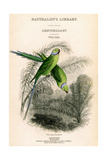 The Naturalist's Library  Ornithology Vol VIII  Red Ringed Parrakeet  C1833-1865