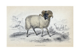 Black Faced Ram  Mid 19th Century