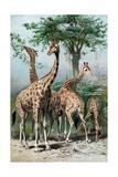 Giraffes Browsing  C1885