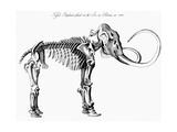 Woolly Mammoth (Mammuthu) Skeleton  1830