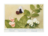 Mendelian Inheritance of Colour of Flower in the Culinary Pea  1912