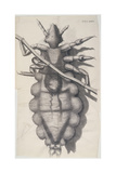 Louse Clinging to a Human Hair in Hooke's Micrographia  1665