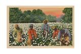 Cotton Picking  Augusta  Georgia  1943