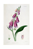 Foxglove (Digitalis Purpure)  19th Century