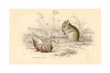 Harvest Mouse (Micromys Minutu) of the Old World  1828