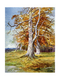 Beech Tree  Autumn  1900