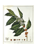Sprig of Coffee (Coffea Arabic) Showing Flowers and Beans  1798