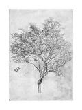 Study of a Lemon Tree  1899