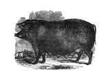 Hampshire Sow  1848