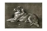 A Sheep Dog  1901