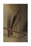 A Sparrowhawk  1510S