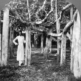 Among the Roots of a Banyan Tree  Calcutta  India  1900s