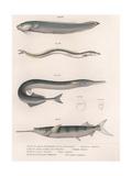Common Snake Fish. Common Sand Eel. Common Hornhecht. Brazilian Halfbeak, C.1850S Giclée