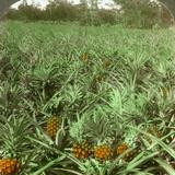 Where the Luscious Pineapple Grows  Florida  USA  1896