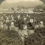 Girls Picking Tea  Uji  Japan
