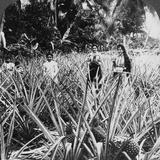 Pineapple Fields  Mayaguez  Puerto Rico