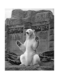 Polar Bear on the Mappin Terrace at London Zoo  1926-1927