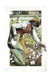 Picking Cotton  USA  Postcard  C1900
