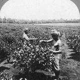 A Tea Plantation  Java  Indonesia  1902