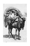 A Girl on a Camel Litter  Algeria  1922