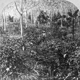 A Coffee Plantation  Jamaica  C1900s