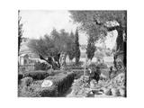 The Garden of Gethsemane  Palestine  Late 19th Century