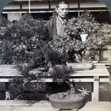 Dwarf Pines and Maples in Count Okuma's Greenhouse  Tokyo  Japan  1904