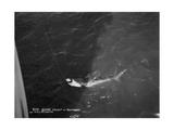Shark Caught by the Cruise Ship 'Atlantis  Off Bathurst  Gambia  20th Century