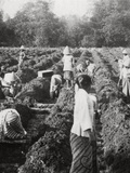 Preparing Irrigation Channels at a Sugar Plantation  Java  Dutch East Indies  1927